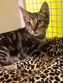 [another picture of Marble, a Domestic Short Hair brown marble tabby\ cat]