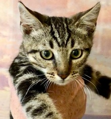 [picture of Marble, a Domestic Short Hair brown marble tabby cat]