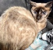 A picture of #ET03459: Sprinkles a Siamese Mix tortie point