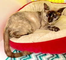 [another picture of Sprinkles, a Siamese Mix tortie point\ cat]