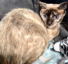 [picture of Sprinkles, a Siamese Mix tortie point\ cat]