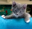 A picture of #ET03461: Cake Pop a Russian Blue Mix blue/white