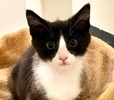 A picture of #ET03463: Ms Springsteen a Domestic Medium Hair black/white