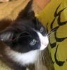 [picture of Ms Springsteen, a Domestic Medium Hair black/white cat]