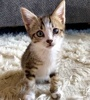 A picture of #ET03464: Milo a Domestic Short Hair brown tabby/white