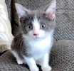 A picture of #ET03465: Mittens a Domestic Short Hair blue/white