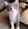 A picture of #ET03466: Minnie a Domestic Short Hair blue/white