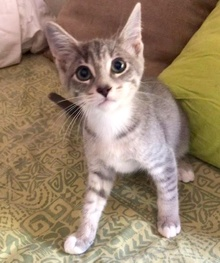[another picture of Huckleberry Muffin, a Domestic Short Hair silver/white\ cat]