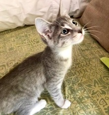 [picture of Huckleberry Muffin, a Domestic Short Hair silver/white\ cat]