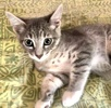 A picture of #ET03468: Black Rasberry Crepe a Domestic Short Hair silver/white