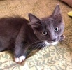 A picture of #ET03469: Blueberry Pancake a Domestic Medium Hair blue/white