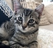 A picture of #ET03470: Gus a Domestic Short Hair silver tabby
