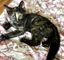 [another picture of Bindi, a Domestic Short Hair tortie\ cat]