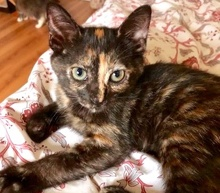 [picture of Bindi, a Domestic Short Hair tortie\ cat]
