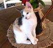 A picture of #ET03473: Dixie a Domestic Short Hair calico