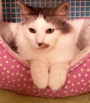 [another picture of Harper, a Turkish Van Mix white/brown\ cat]