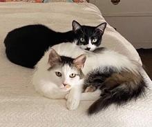 [picture of Dakota, a Domestic Medium Hair black/white\ cat]