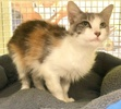 A picture of #ET03476: Harriette a Domestic Long Hair calico