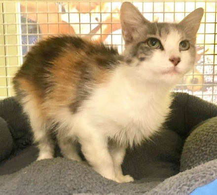 [picture of Harriette, a Domestic Long Hair calico\ cat]