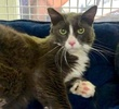 A picture of #ET03478: Silky a Domestic Long Hair blue/white