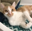 A picture of #ET03479: Bruder a Domestic Short Hair orange/white