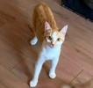 [picture of Bruder, a Domestic Short Hair orange/white cat]