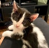 A picture of #ET03480: Shadow a Domestic Medium Hair black/white