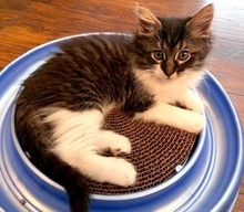 [picture of Flopsy, a Ragdoll Mix brown tabby/white\ cat]
