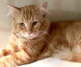 [picture of Quince, a Domestic Long Hair orange\ cat]