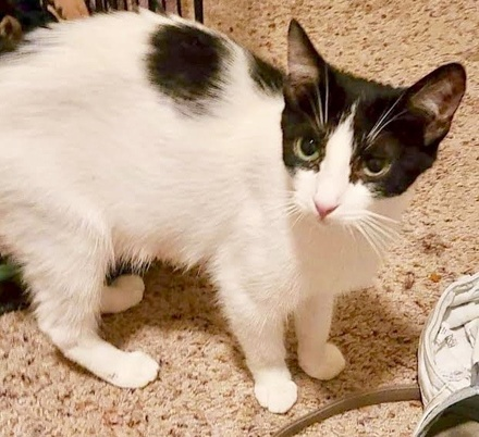 [picture of Coral, a Domestic Short Hair white/black\ cat]