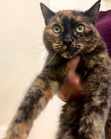 [another picture of Jayna, a Domestic Medium Hair tortie\ cat]