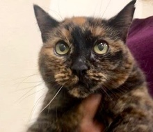 [picture of Jayna, a Domestic Medium Hair tortie\ cat]