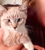 A picture of #ET03490: Cinderella a Siamese Mix lynx point