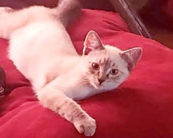 [picture of Charming, a Siamese Mix lynx point\ cat]