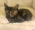 A picture of #ET03492: Starburst a Domestic Short Hair tortie