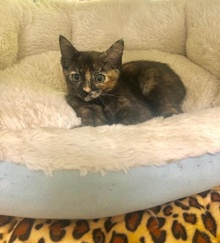 [another picture of Starburst, a Domestic Short Hair tortie\ cat]