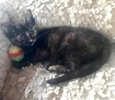[picture of Starburst, a Domestic Short Hair tortie cat]