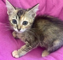 [picture of Skittles, a Domestic Short Hair gray torbie\ cat]