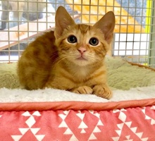 [another picture of Fizz, a Domestic Short Hair orange\ cat]