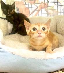 [picture of Fizz, a Domestic Short Hair orange cat]