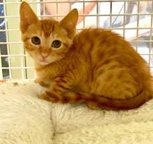 [picture of Fizz, a Domestic Short Hair orange\ cat]