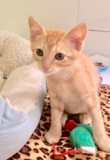 [another picture of Gumdrop, a Domestic Short Hair orange\ cat]