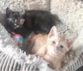 [picture of Gumdrop, a Domestic Short Hair orange cat]