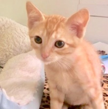[picture of Gumdrop, a Domestic Short Hair orange\ cat]