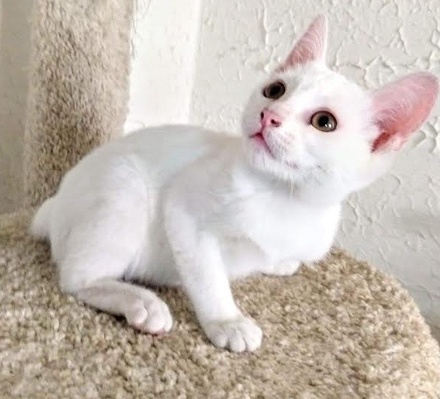 [picture of Sugar Puff, a Domestic Short Hair white\ cat]