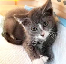 [picture of Cabot, a Domestic Short Hair blue/white\ cat]