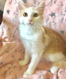 [another picture of Hobie, a Domestic Long Hair orannge/white\ cat]