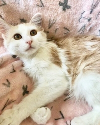 [picture of Hobie, a Domestic Long Hair orannge/white cat]