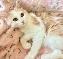 [picture of Hobie, a Domestic Long Hair orannge/white\ cat]