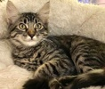 A picture of #ET03499: Freeway a Maine Coon-x gray